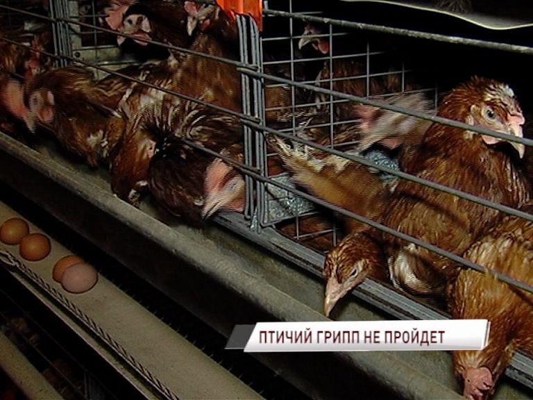 Из-за птичьего гриппа в Ярославской области проверят все фабрики