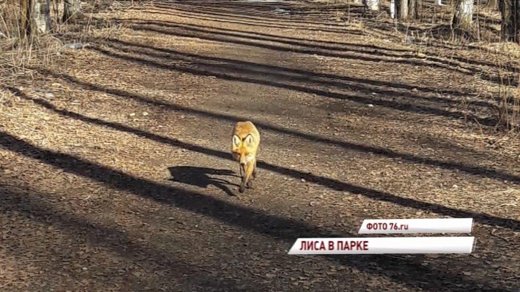Дикую лису, гулявшую по ярославскому парку, отправили в ветеринарную клинику