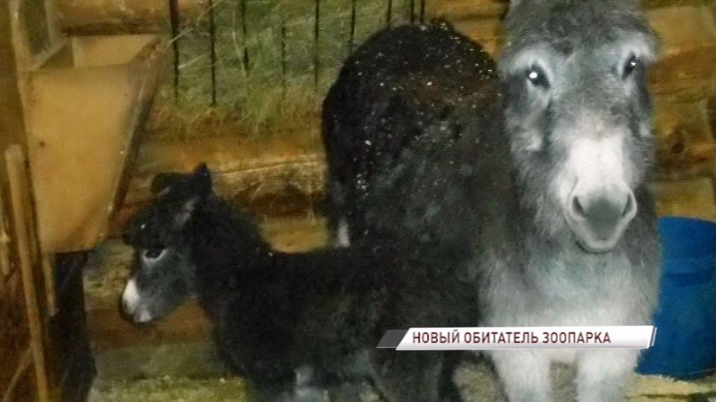 В Ярославском зоопарке родился долгожданный ослик