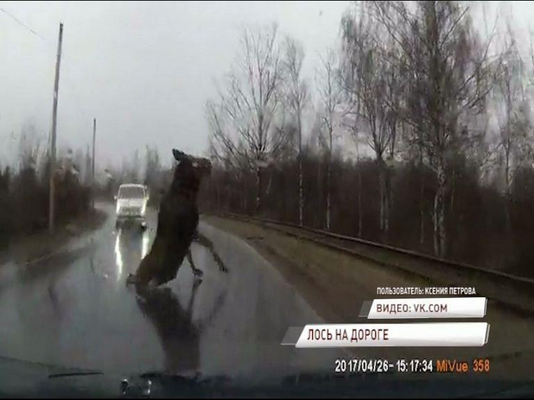 ВИДЕО: В Рыбинске лось едва не спровоцировал серьезную аварию