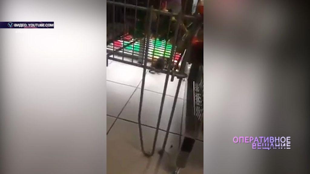 ВИДЕО: покупатели в магазине встретили крысу