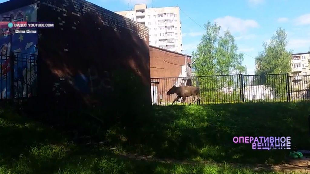 ВИДЕО: в разгар дня по Ярославлю прогулялся лось.