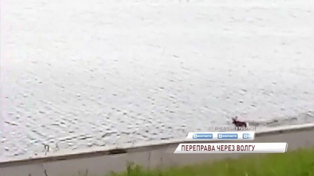 ВИДЕО: в Рыбинске лосиное семейство переплыло Волгу