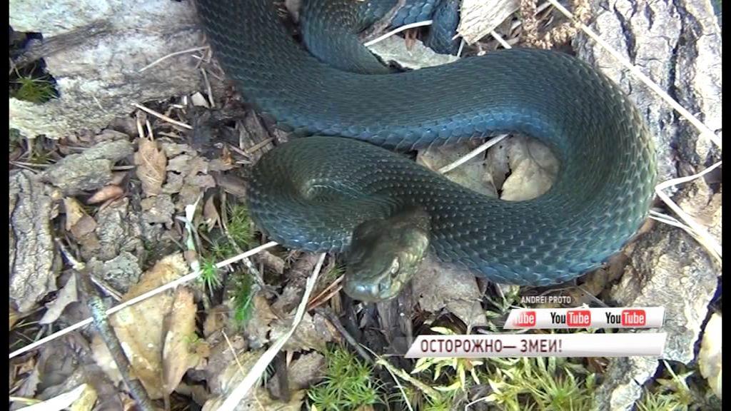 Уже несколько ярославцев пострадали от укусов змей