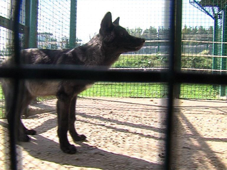 Канадские волки Альф и Цаца стали многодетными родителями