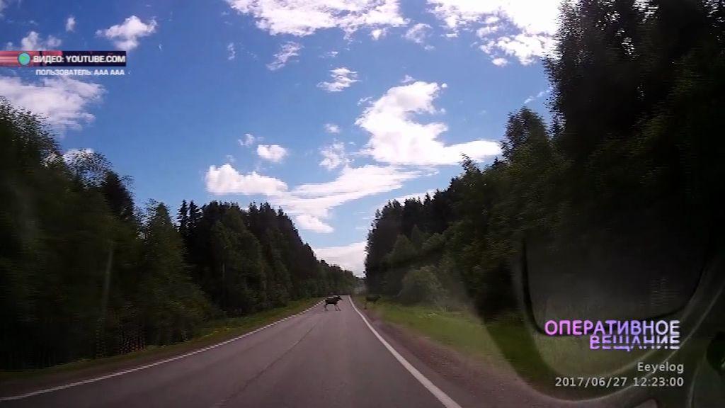 ФОТО: Лоси вальяжно перешли трассу Ярославль -Тутаев