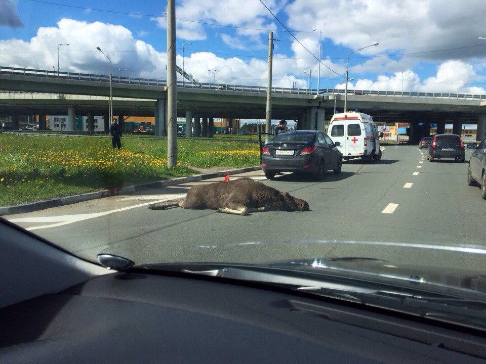 Под Рыбинском сбили двух лосей