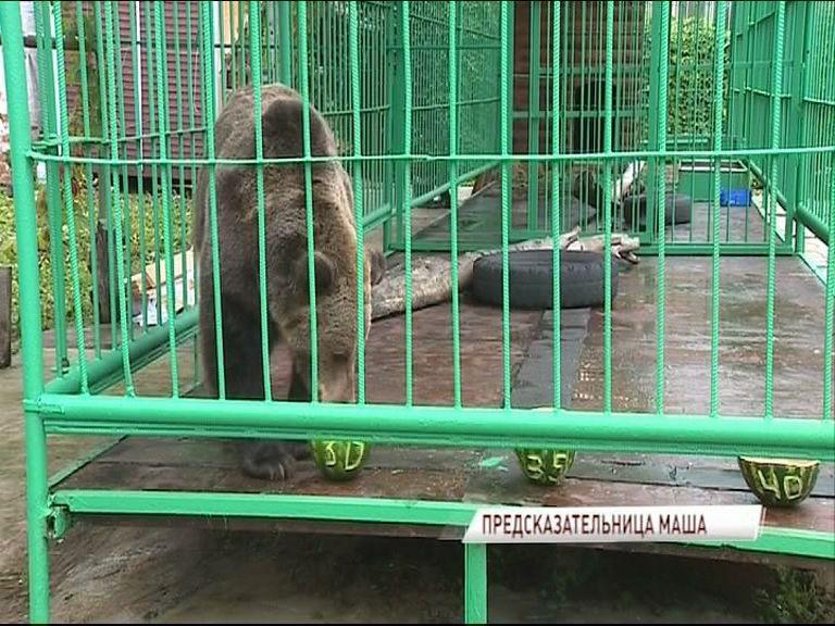 Медведица Маша предсказала, какой будет явка на выборах
