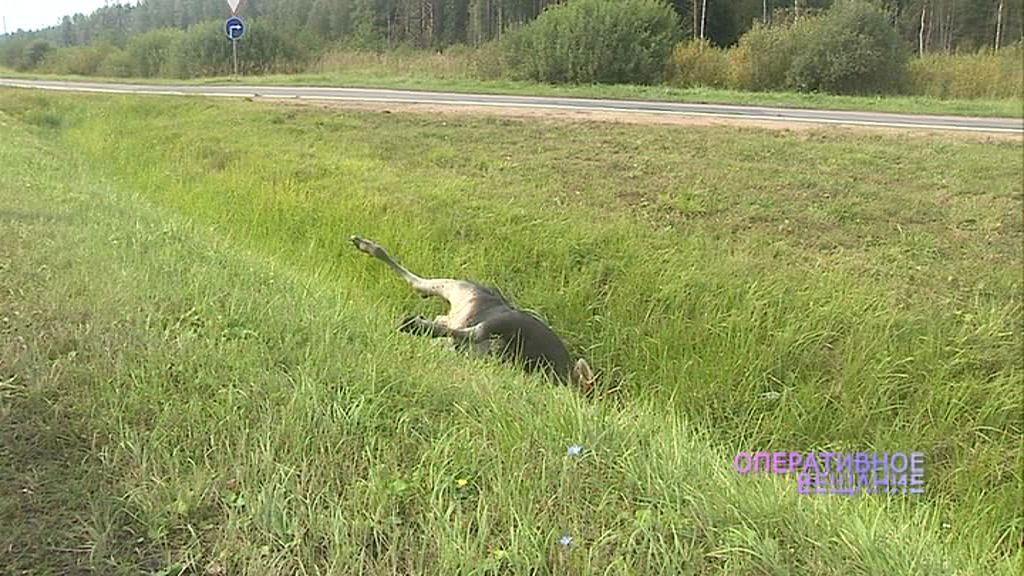 На трассе рядом с Белкино разлагается туша лося