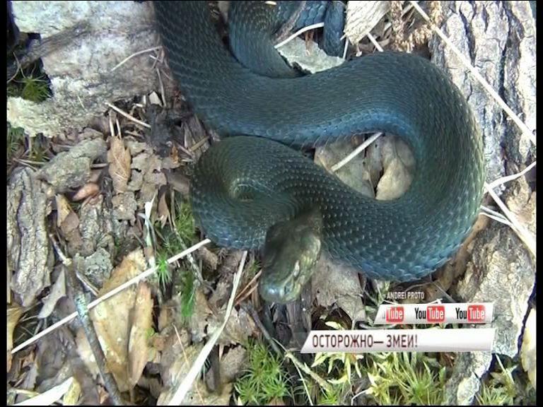 ВИДЕО: В ярославских лесах активизировались змеи