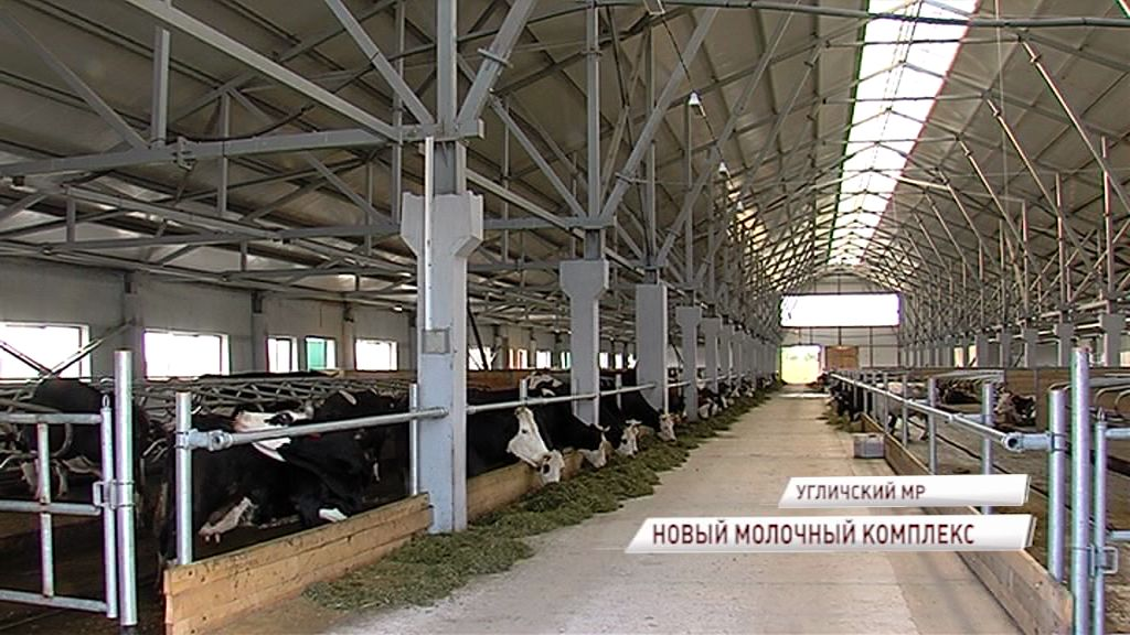 В Угличском районе завершается модернизация площадки по производству молока