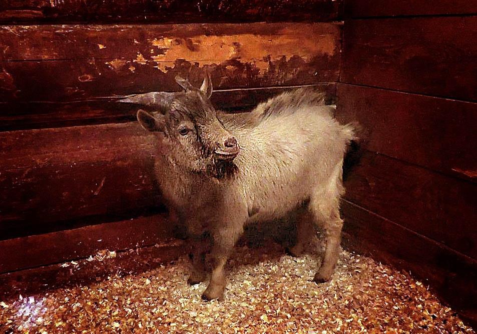 В ярославском зоопарке появился Пряник