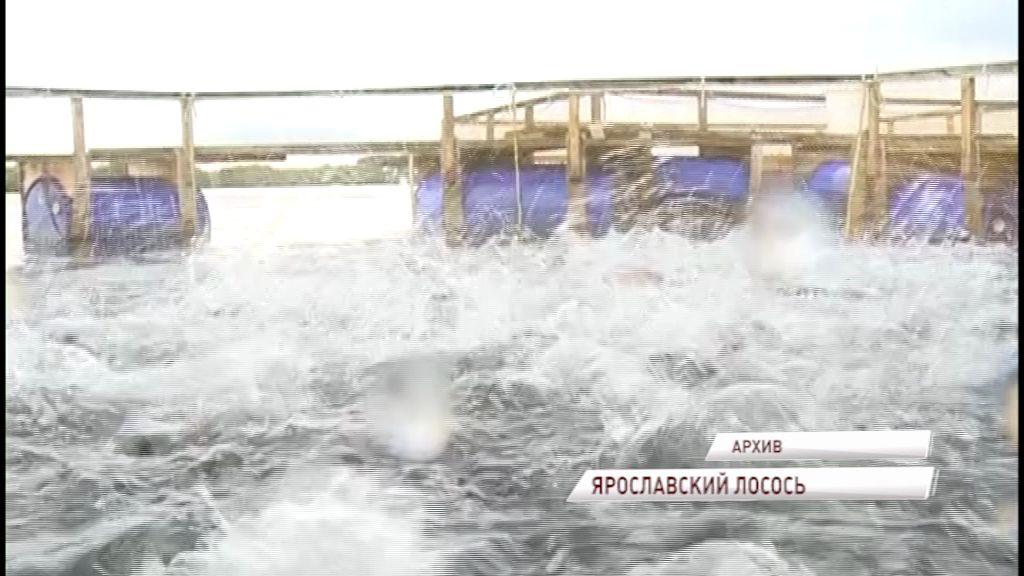 В Ярославской области будут выращивать лосось: когда сможем насладиться местной рыбкой