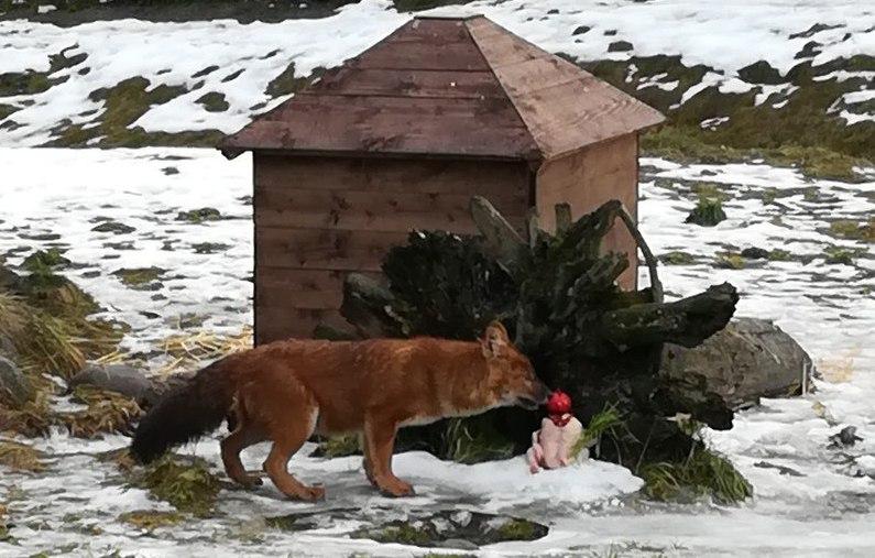 ФОТО: Красной волчице из ярославского зоопарка подарили торт из курицы