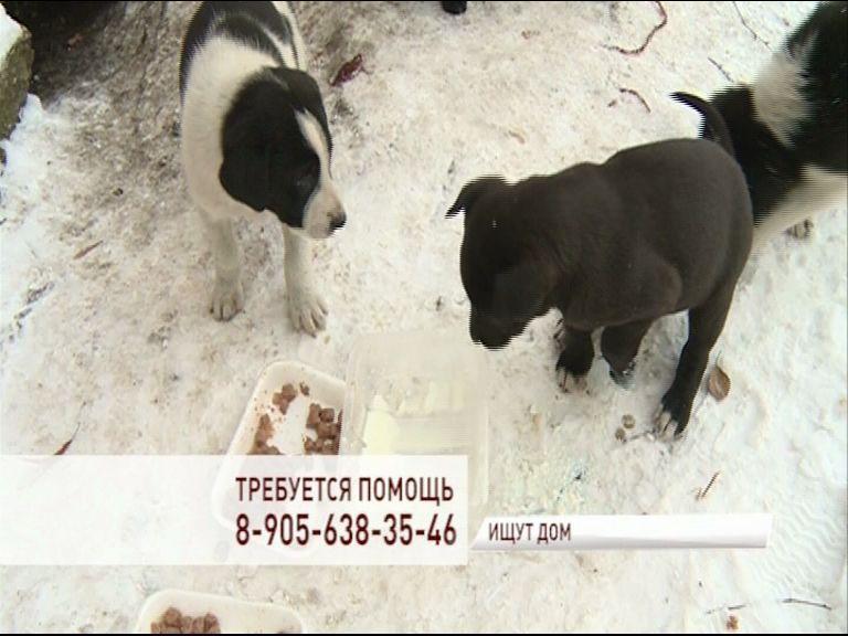 Больше месяца Ярославле спасают от голодной смерти маленьких щенков и их маму