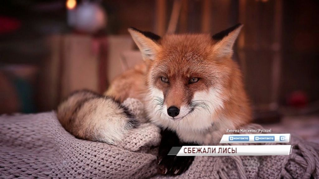 В Ярославле ищут пропавших лис: за поимку «рыжих» даже дают вознаграждение