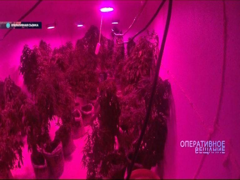 Житель Тутаева выращивал настоящие поля марихуаны прямо в квартире