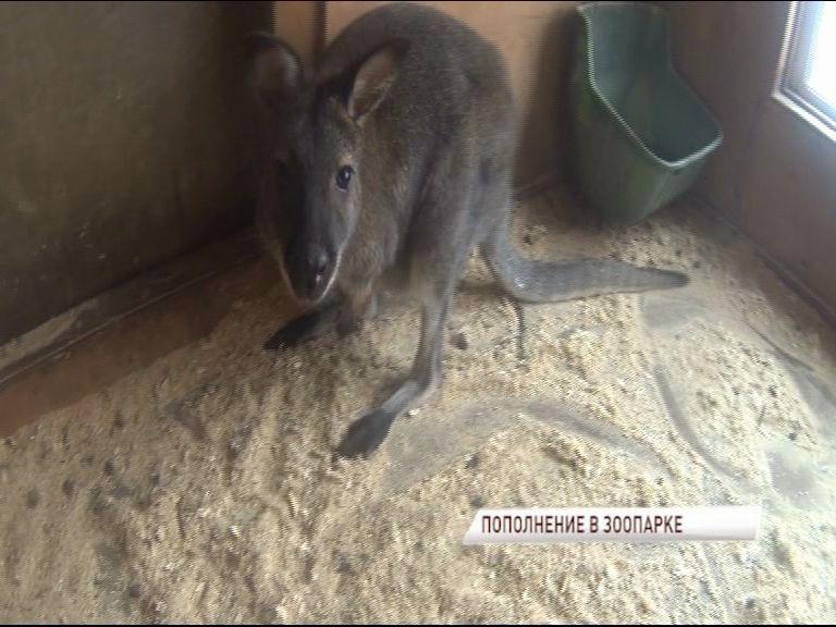 В Ярославском зоопарке кенгуру Бенетта впервые показала своего детеныша
