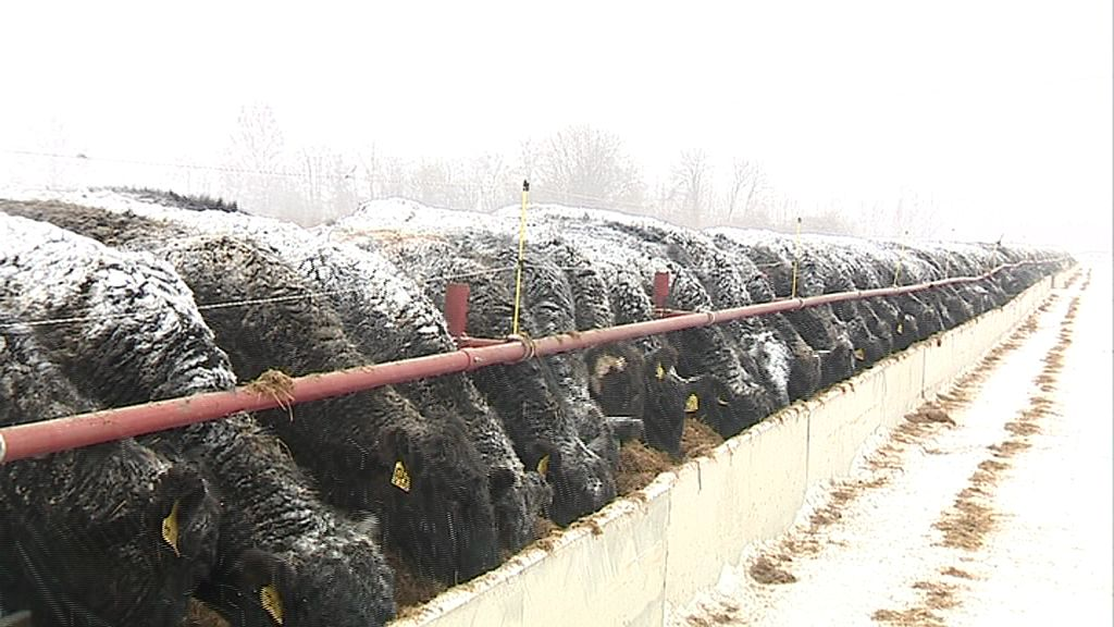 В Ярославской области появились адаптированные к разным погодным условиям коровы