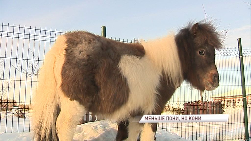 Меньше пони, но все же кони: в Ярославском зоопарке появились миниатюрные лошади Фалабелла