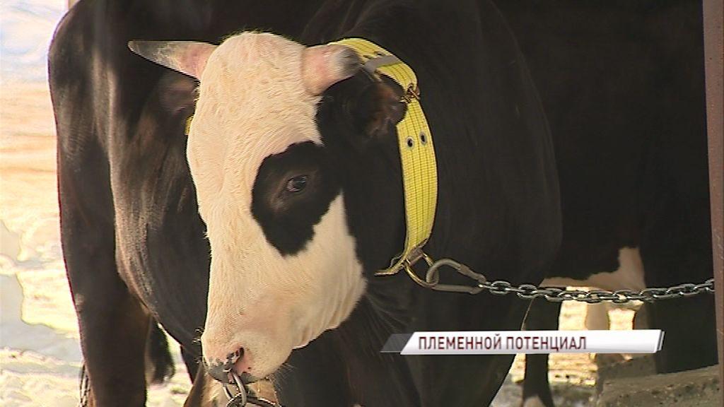 Мяса и молока хватит всем: в Ярославской области активно развивается животноводство