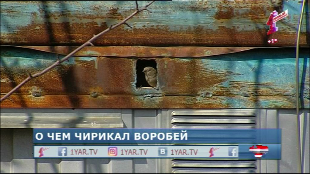 В Ярославле исчезают воробьи?