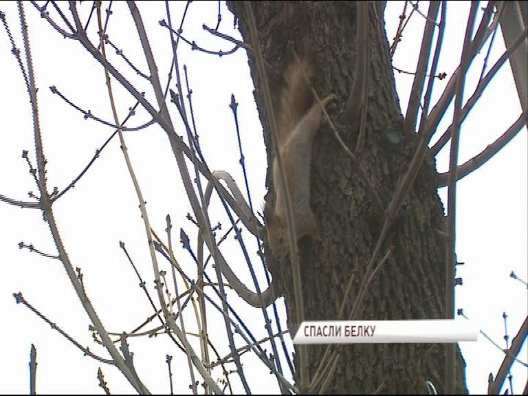 ВИДЕО: Десятки ярославцев наблюдали за спецоперацией по спасению белки с дерева