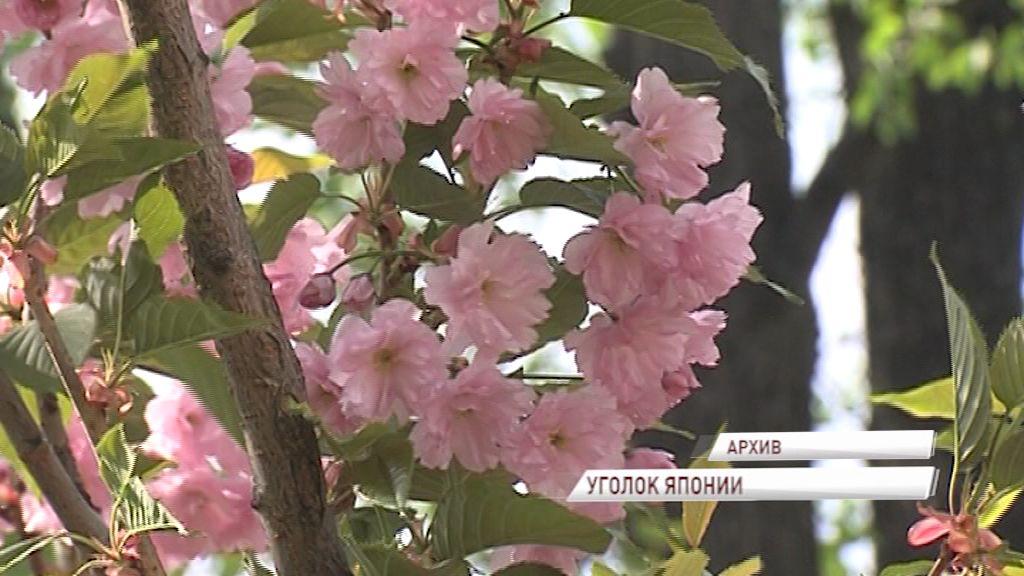 В саду экзотических растений в музее зарубежного искусства зацвела сакура