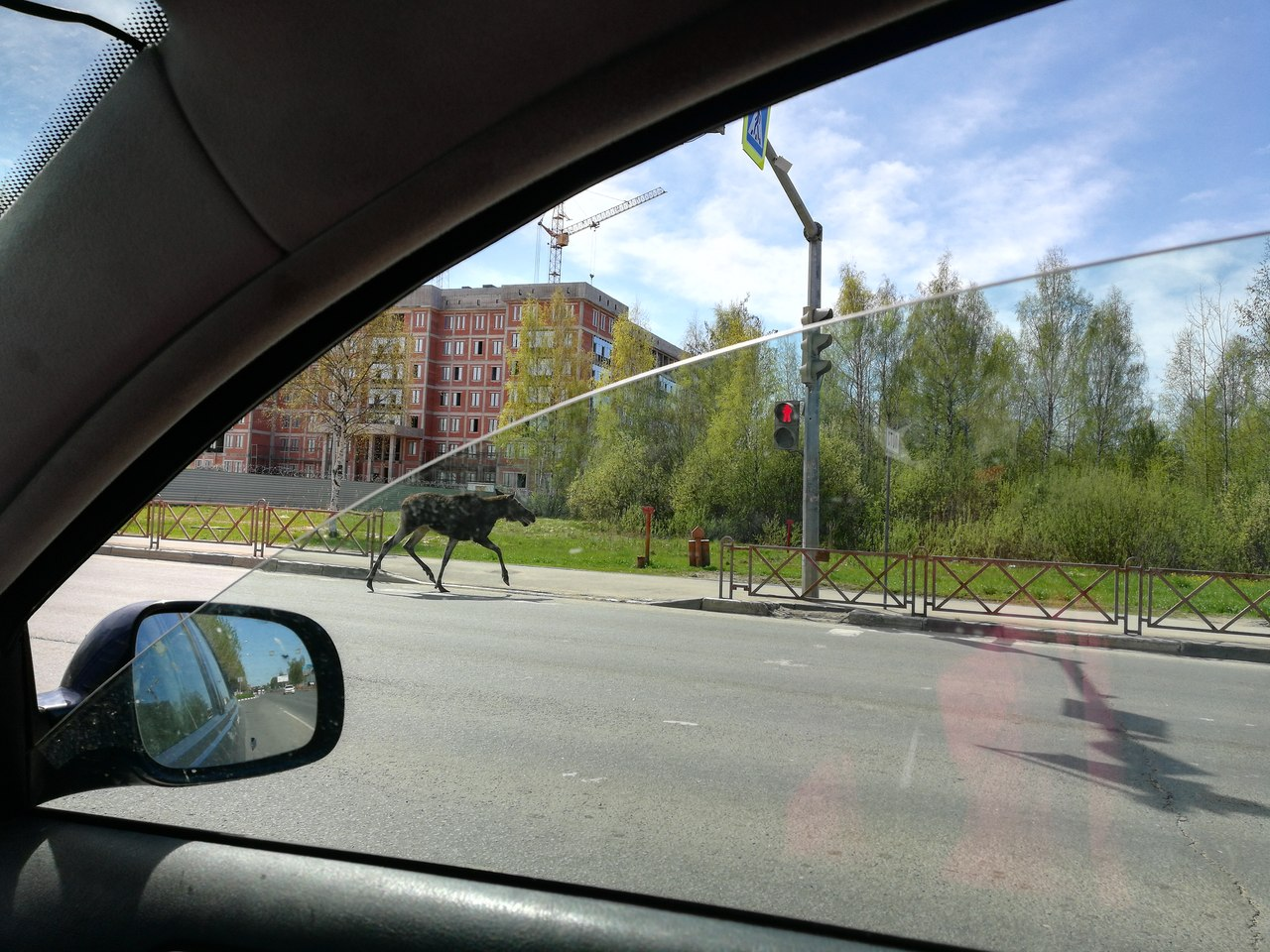 Лось-нарушитель перебежал дорогу на красный свет