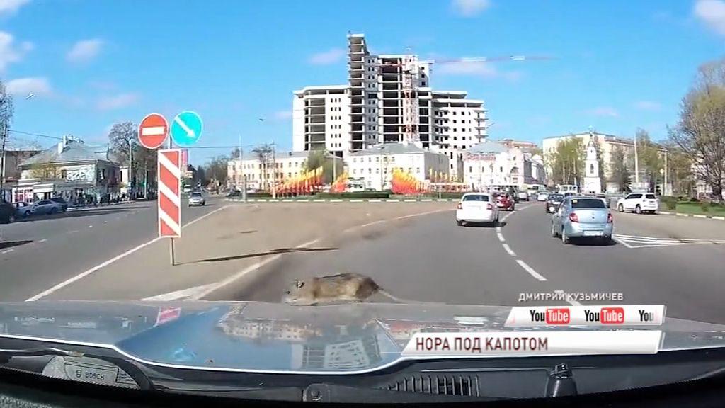 ВИДЕО: Прямо на ходу из-под капота авто вылезла огромная крыса