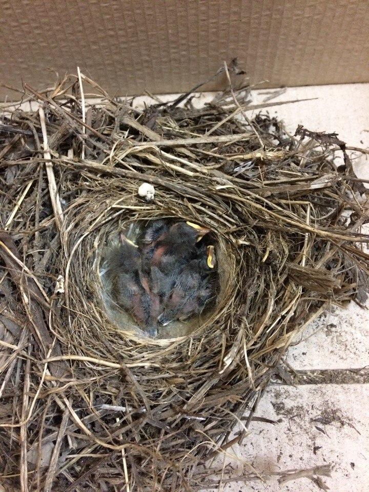В Ярославле ищут ответственных «родителей» для птенцов трясогузки