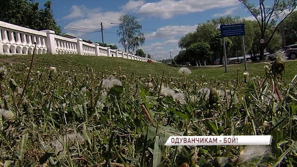 Владимир Слепцов объявил войну одуванчикам