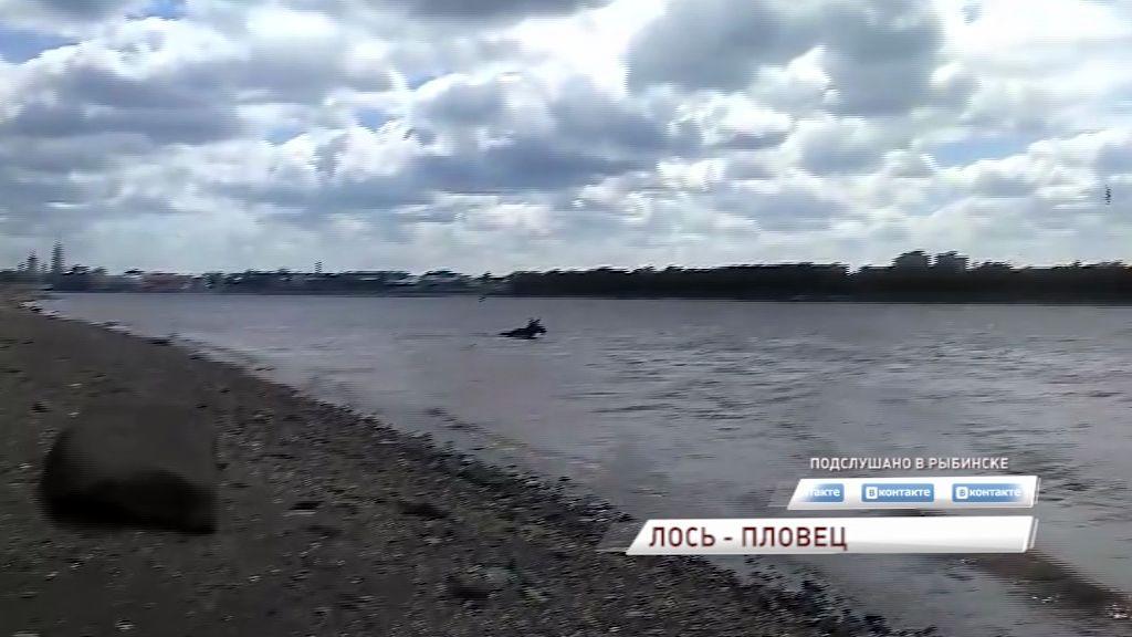 Жители Рыбинска заметили лося, переплывающего Волгу