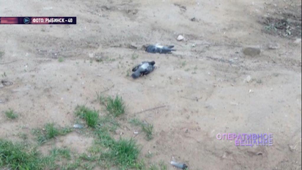 В Рыбинске отравили больше десятка голубей