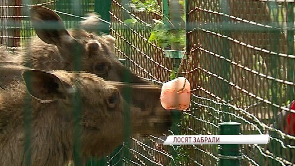 Двое лосят из ярославского зоопарка переезжают в Подмосковье