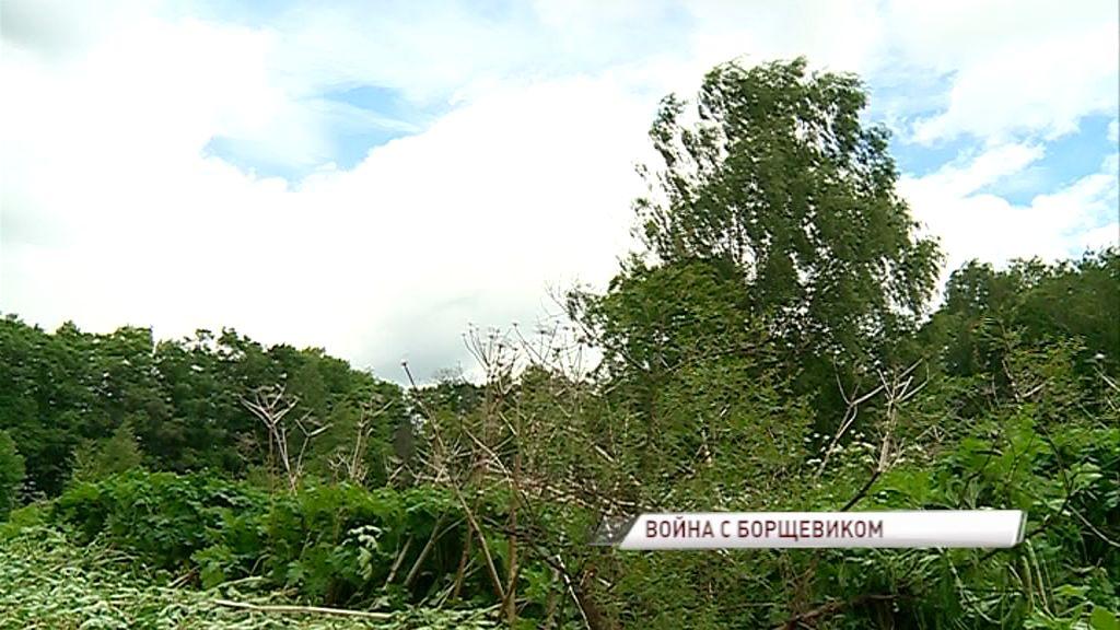 Борщевик атакует: власти предложили создать региональную программу по борьбе с опасным растением