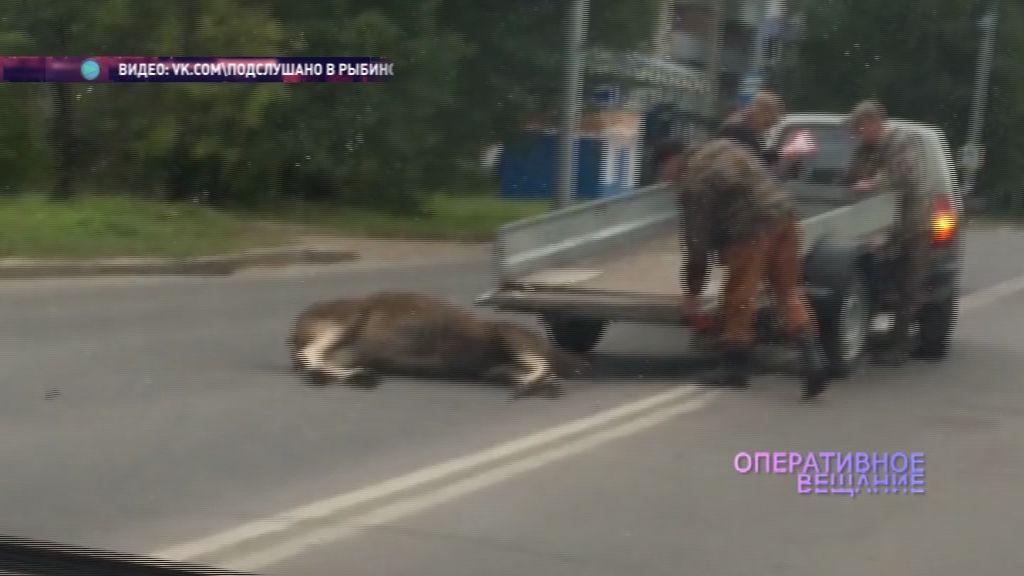 В Рыбинске автомобиль сбил лося
