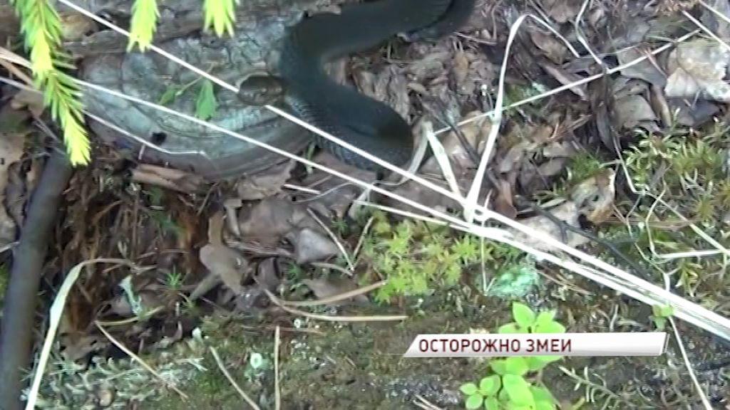 В Ярославле в разных районах города жители наткнулись на змей