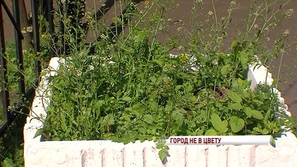 Половина клумб Ярославля цветет мусором и сорняками: где обещанные цветы