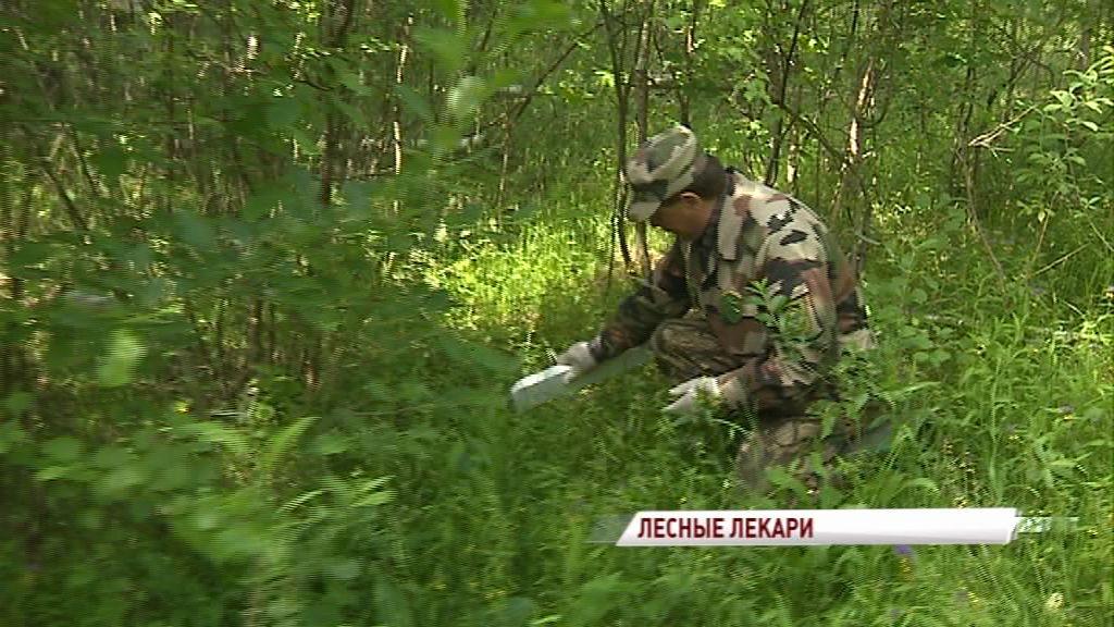 Лесные инспекторы разбрасывают по лесу приманки с лекарством: зачем это нужно