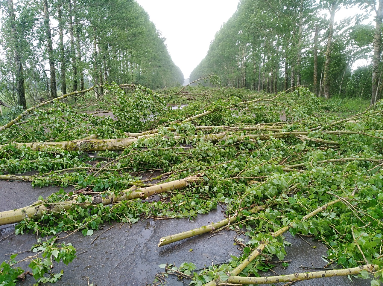 ФОТО: В Ярославской области ветром повалило деревья