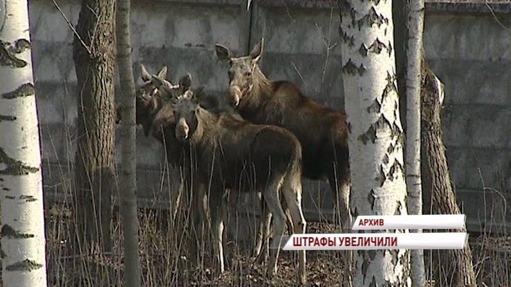 За незаконную охоту на лося браконьеры могут отправиться в колонию на пять лет