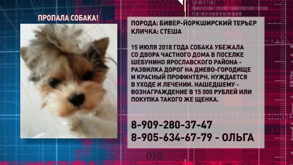 В Ярославле пропала маленькая собачка: нашедшему предлагают крупное вознаграждение
