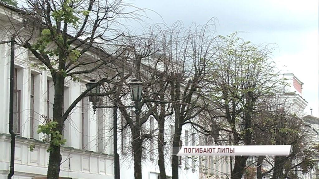 В Ярославле массово гибнут деревья: возможно ли спасти ландшафтный дизайн города