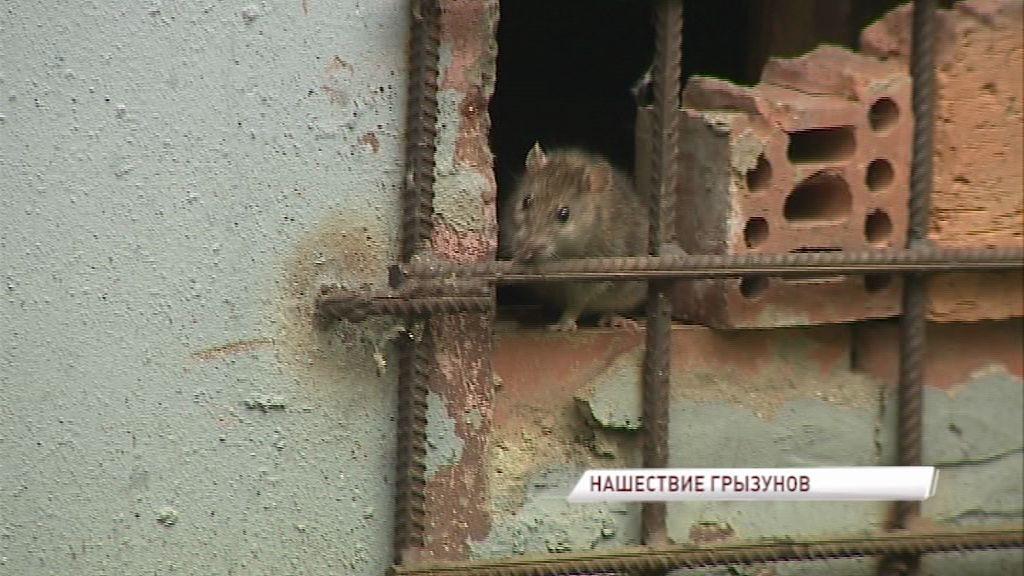 Нашествие крыс в ярославских домах: кто виноват