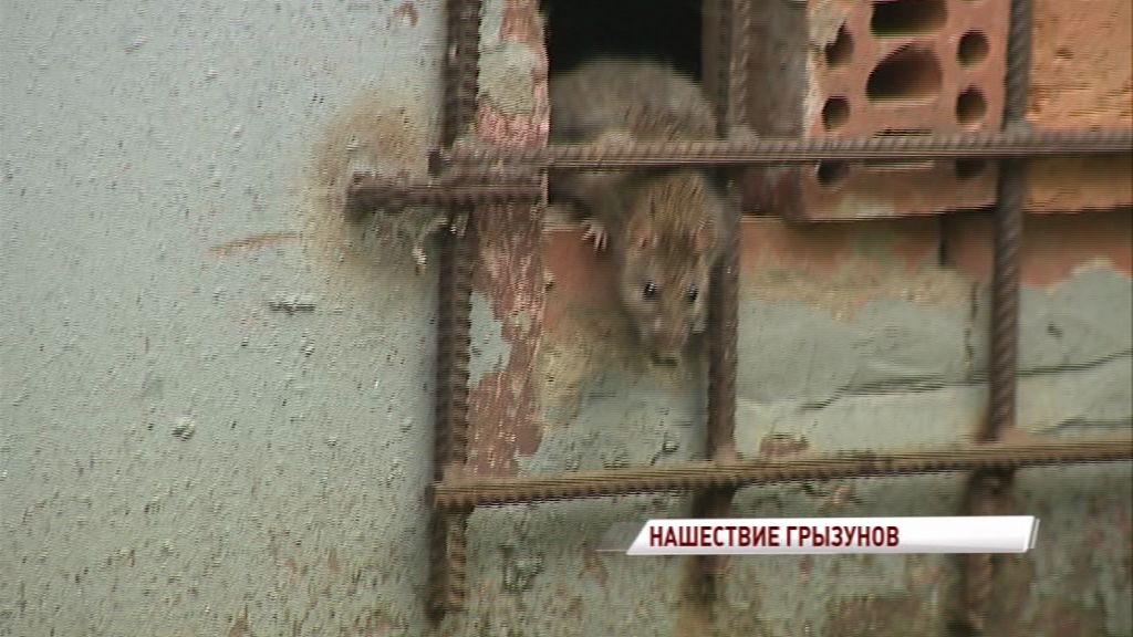 Ярославль атакован крысами: как борются с нашествием грызунов в разных районах города