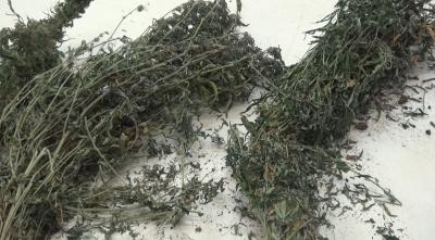 В Ярославской области нашли несколько плантаций конопли