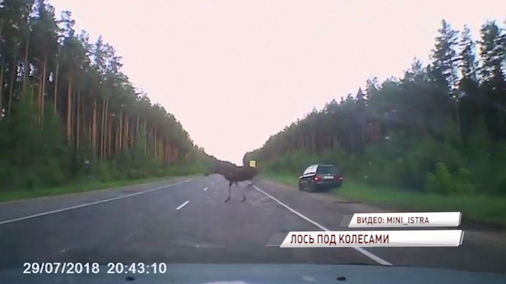 ВИДЕО: Лось бросился под колеса машины на трассе Углич - Калязин