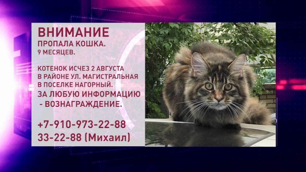 В Ярославле пропал котенок мейн-куна