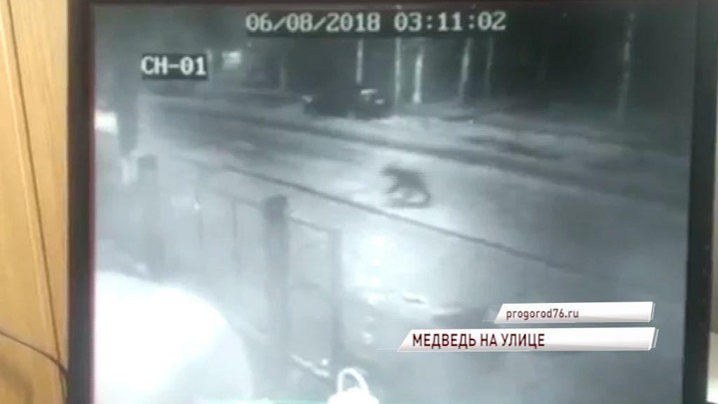 В Угличе по улицам бегал медведь